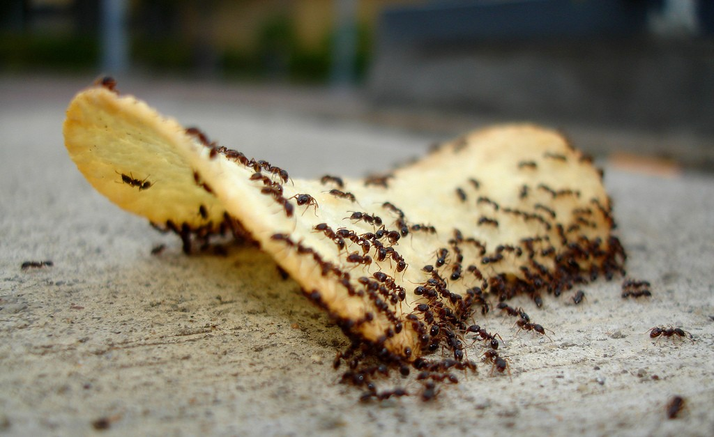Get Rid of an Ant's Nest in your House